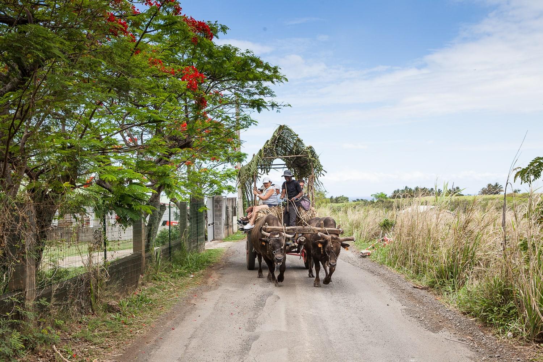 Visiter l'ile de la Réunion à bord d'une charrette boeuf !